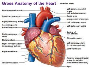 Biology anatomy physiology